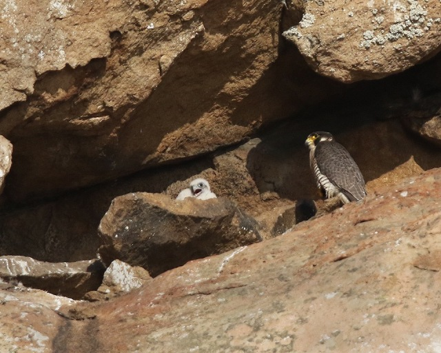 Peregrine with new chick Photo by Cleve Nash