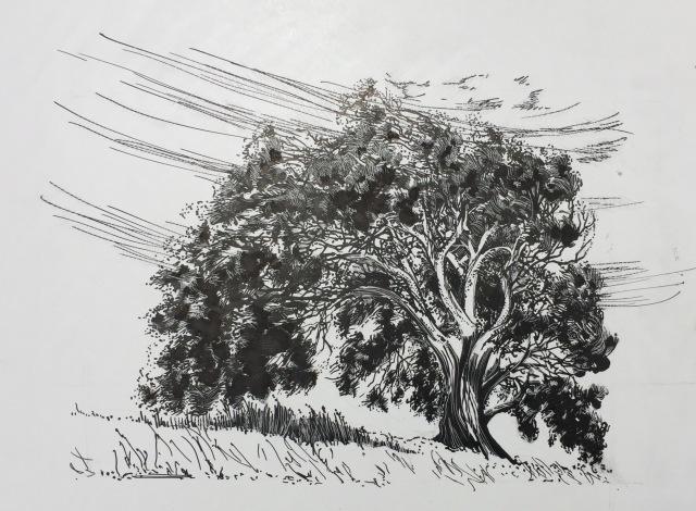 Eucalyptus, scratchboard, at Laguna Lake, San Luis Obispo, CA